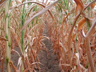Nitrate Toxicity and Drought Stressed Corn